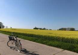 Ferien auf Rügen mit Fahrrad, Rapsfeld